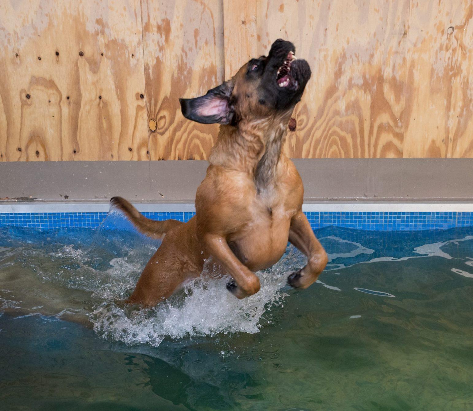 Mastiff - spieren conditie Hondenzwemmen -H2ond